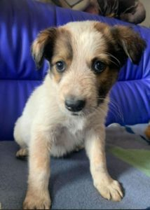 Marty a brown and white Romanian rescue dog 1 | 1 Dog at a Time Rescue UK
