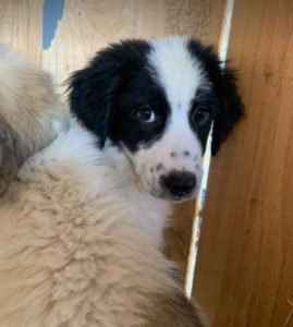 Oreo a black and white Romanian rescue dog | 1 Dog at a Time Rescue UK