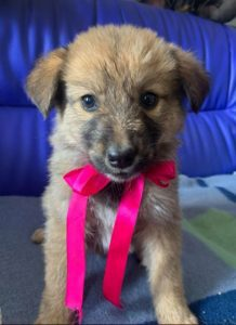 Reba a fawn Romanian rescue dog 1 | 1 Dog at a Time Rescue UK