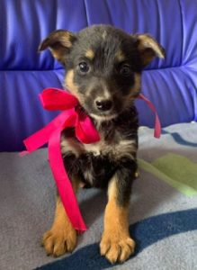 Rhea a black and fawn Romanian rescue dog 1 | 1 Dog at a Time Rescue UK