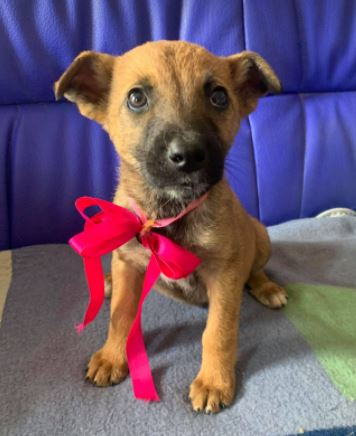 Rosa a fawn Romanian rescue dog 1 | 1 Dog at a Time Rescue UK