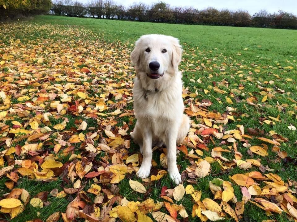 Baxter the Romanian mioritic rescue sitting in autumn leaves| 1 Dog At a Time Rescue UK | Dedicated To Rescuing and Rehoming Romanian Street Dogs