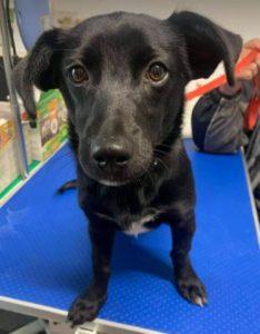 Bonnie a black Romanian rescue dog | 1 Dog at a Time Rescue UK