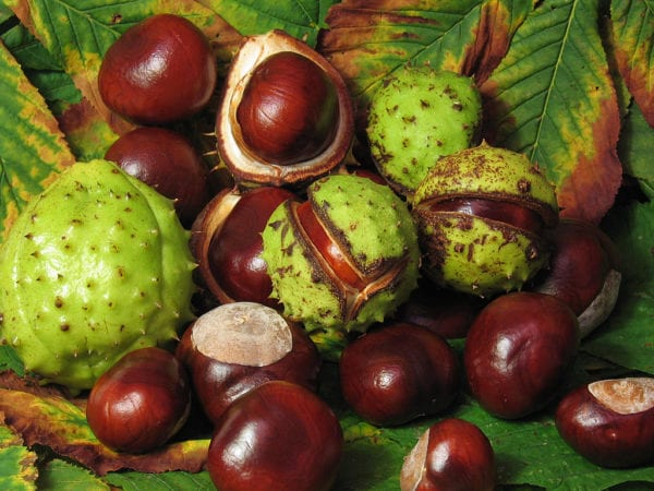 Conkers are poisonous to dogs | 1 Dog At a Time Rescue UK | Dedicated To Rescuing and Rehoming Romanian Street Dogs