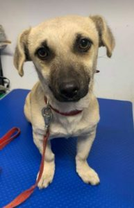 Honey a tan Romanian rescue dog | 1 Dog at a Time Rescue UK