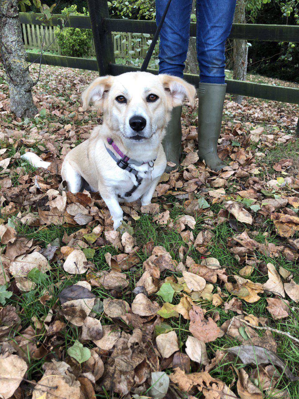Hope a cream rescue dog on an autumn walk 1 Dog At a Time Rescue UK | Dedicated To Rescuing and Rehoming Romanian Street Dogs