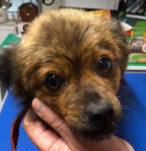 Minnie a tan Romanian rescue dog | 1 Dog at a Time Rescue UK