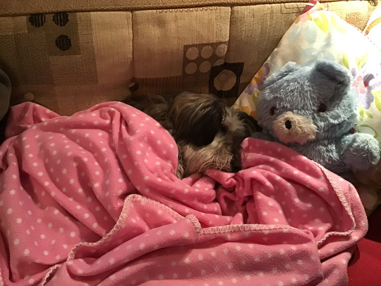 Pippa snuggled under a blanket with her teddy | 1 Dog At a Time Rescue UK | Dedicated To Rescuing and Rehoming Romanian Street Dogs